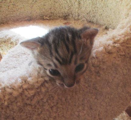 Bengals Kittens For Sale